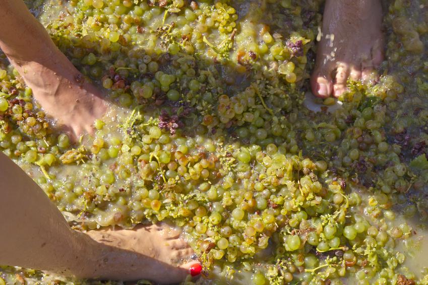 Pisar uvas, o método mais tradicional para obter vinho